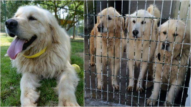 36 golden retrievers in need of new homes after Turkey rescue