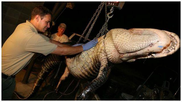 Big catch for Ala. alligator hunter