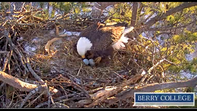 Berry College bald eagle lays second egg of the season