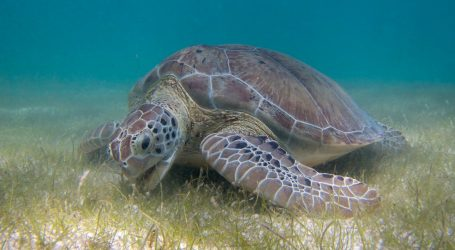 Turtles Have Led Us to Their Secret Seagrass Meadows