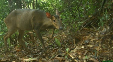 No One Had Seen These Tiny Deer for 20 Years. Then One Day, They Came Back.