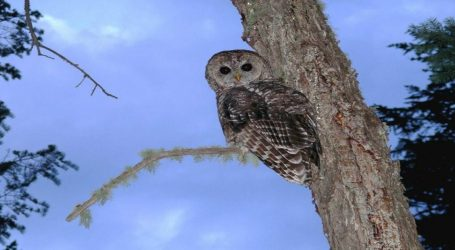 A Big Drilling Company Was Ready to Set up a Mine in This Arizona Town. Then an Endangered Owl Showed Up.