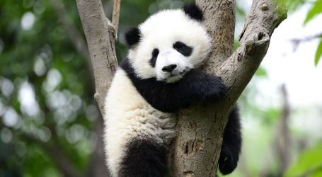 During This Week From Hell, Enjoy Some Good News About Pandas