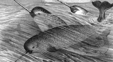 Narwhals Are Real, and They Could Be in Real Trouble