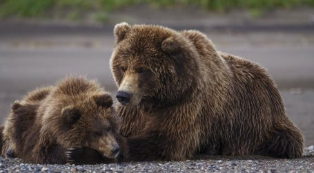 Bear Cub Killers in Alaska Have an Ally in Donald Trump