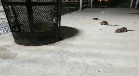 Climate Change Has Made New York's Rat Crisis Much Worse