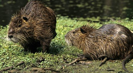 These Giant Rodents Are Eating Louisiana's Coast