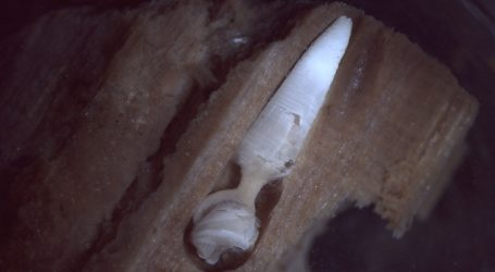 Researchers Just Discovered a New Species at the Bottom of the Ocean—and it Looks Like a Penis