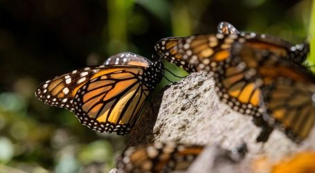 Mexico's Monarch Butterflies Are in Grave Danger. Scientists Are Moving an Entire Forest to Save Them.