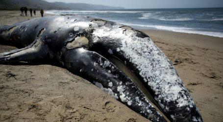 NOAA Is Looking for Beaches to Hold 70 Rotting Whale Caracasses. Any Volunteers?