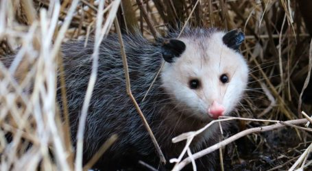 I've Stayed Silent for Too Long: Opossums Deserve Our Love