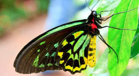 Behold the Biggest, Rarest Butterfly in the World