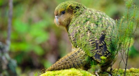 """Behold the Return of the Amazing New Zealand """"Owl Parrot."""" Look at It Dance!"""