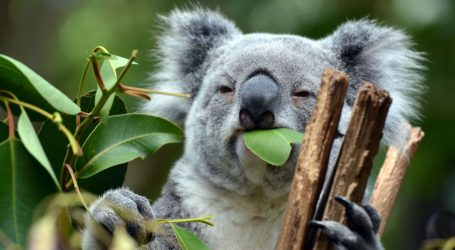 The Key to Saving Starving Koalas Might Be…Their Poop