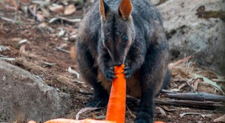 Australia's Wallabies, Recovering From Fires, Fed by Carrots Falling From the Sky