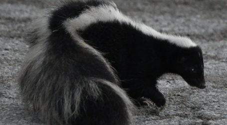 Skunks Are Surprisingly Important in Chicago's History