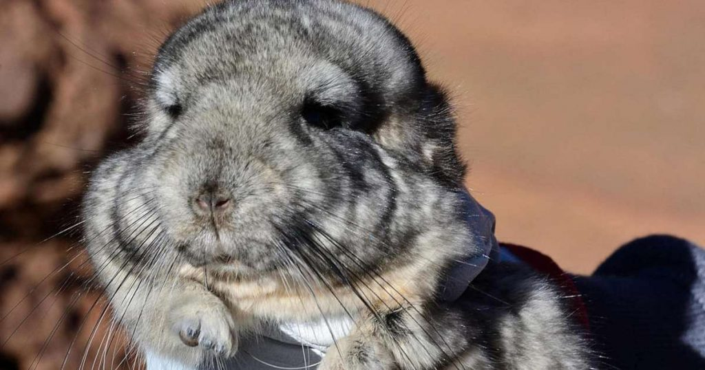 in-chile,-25-rare-chinchillas-are-sitting-on-top-of-3.5-million-ounces-of-gold