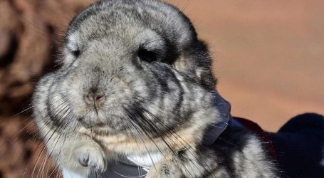 In Chile, 25 Rare Chinchillas Are Sitting on Top of 3.5 Million Ounces of Gold